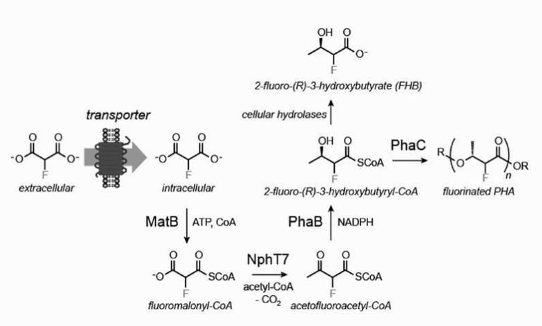 Схема образования фторполимера генномодифицированной бактерией E.coli